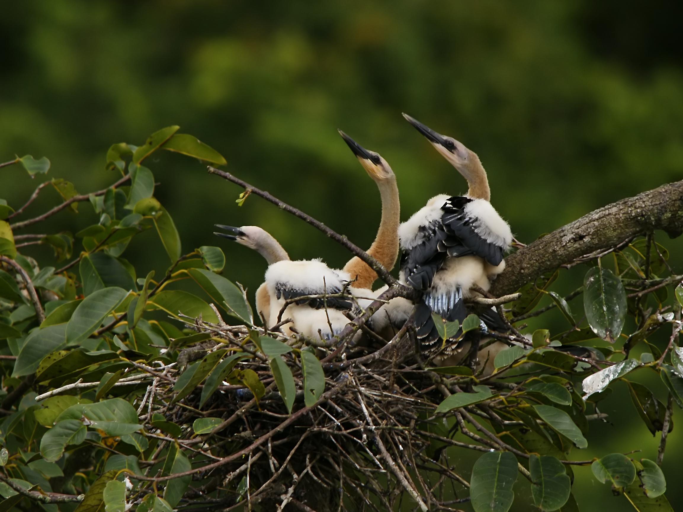Anhinga anhinga juveniles