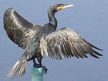 cormorao imperial