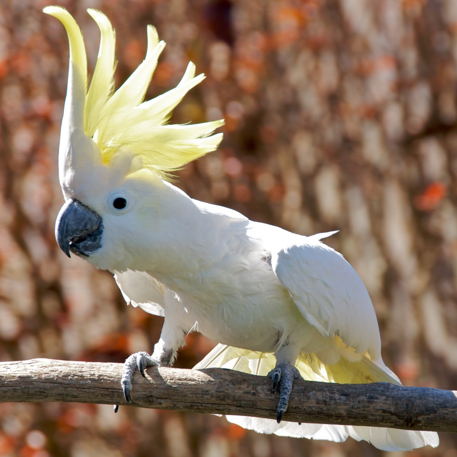 Cacatua_galerita_-perching_on_branch_-crest-8a-2c