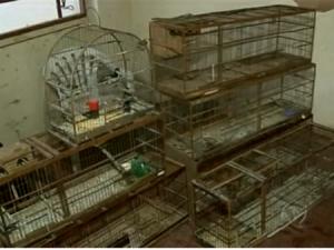aves feridas por causa das brigas apreendidas pela policia ambiental