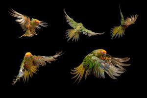 aves-jandaia