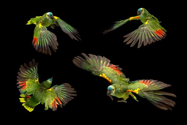 aves-papagaio