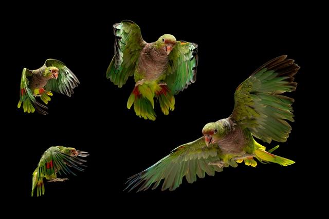 aves-papagaio-de-peito-roxo