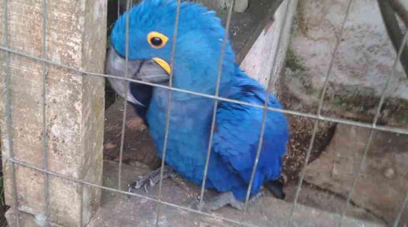 sp_cananeia_arara_azul_arara-azul2
